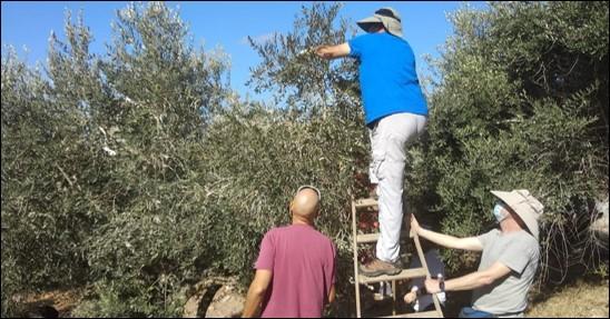 זיתי הזעם: בכפר בורין החלה עונת המסיק הפלסטיני-ישראלי