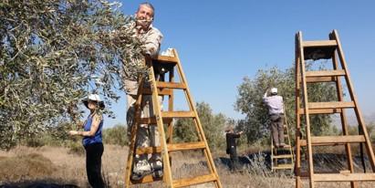 קוראים להשתתף במסיק הזיתים של החקלאים הפלסטינים בשטחים הכבושים