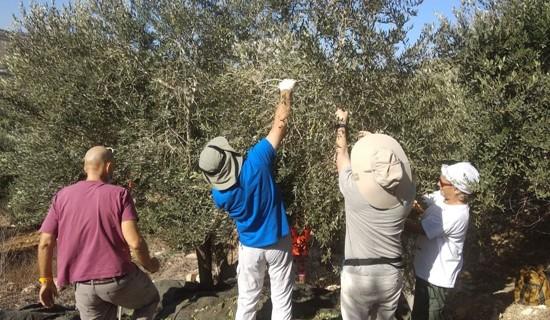 בשבת: מסיק זיתים פלסטיני-ישראלי בכפר ג'יוס בשטחים הכבושים; מתנחלים תקפו בבורין